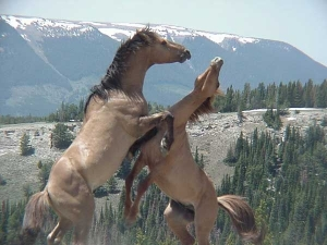 Feral_stallions_fighting-_Pryor_Mountain_Wild_Horse_Range_-_Montana